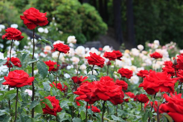 clever international rose test garden portland oregonpartaste