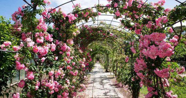 Explore Landscaping A Rose Garden Choosing Garden Roses For Your Medium