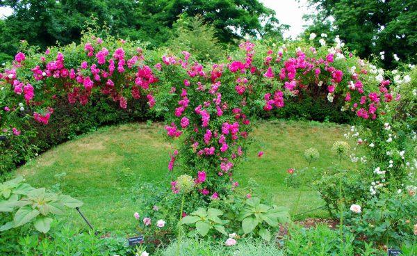 Get Mille Fiori Favoriti Pink Roses In The Cranford Rose Garden Medium