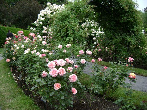 Get Rose Garden Free Stock Photo Public Domain Pictures Medium
