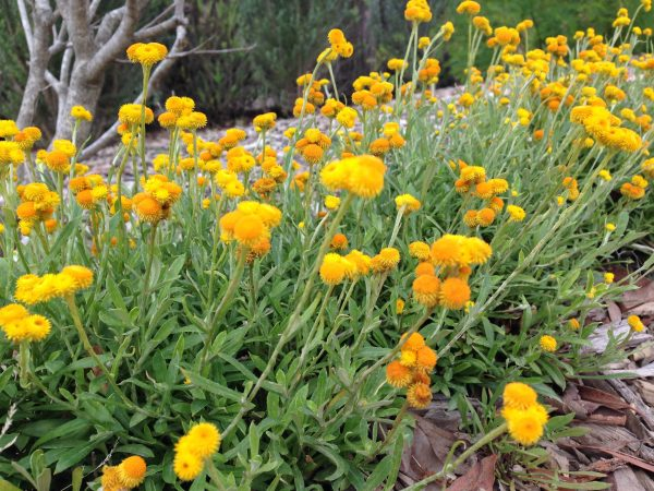 our favorite natives 3 tips for a high impact australian garden medium