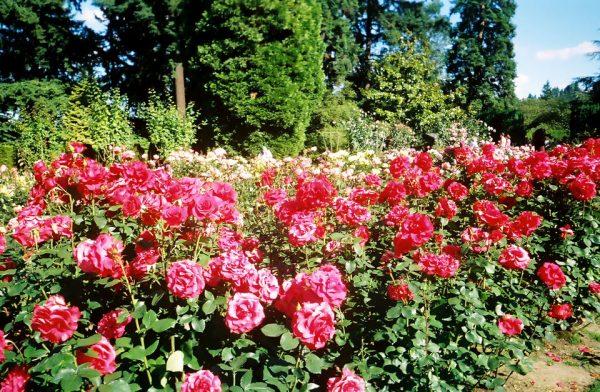 Search Visit Historic Rose Gardens Medium