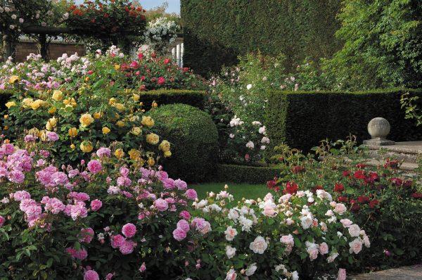 Simply David Austin English Climbing Roses  Cottage Garden Living Medium
