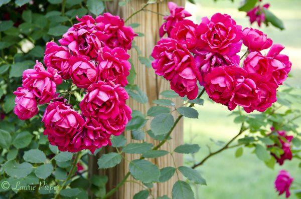 Style The James W Berry Memorial Rose Garden Manhattan City Medium