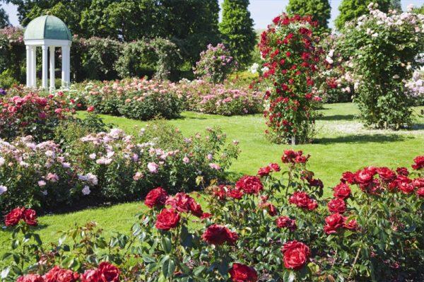 Tips Roses In The Garden Design  Wilson Rose Garden Medium