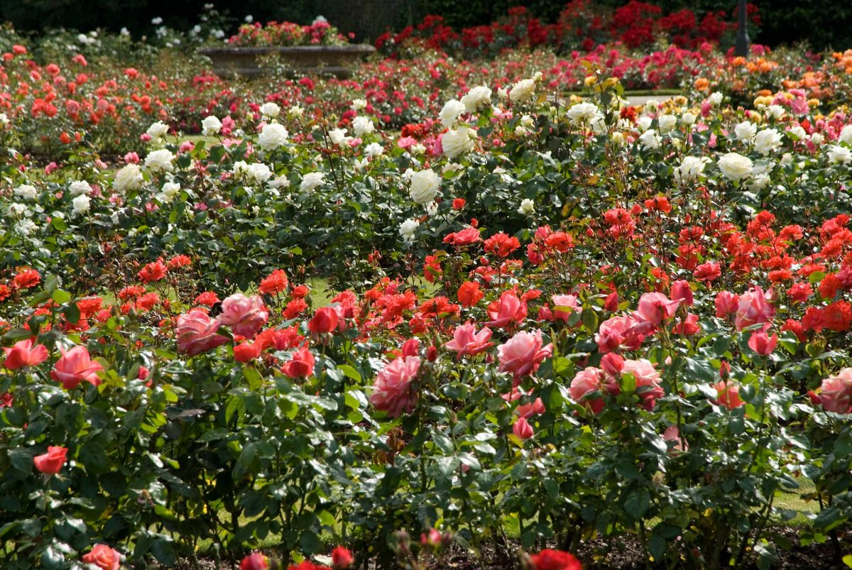 tips the rose garden greenwich park the royal parks