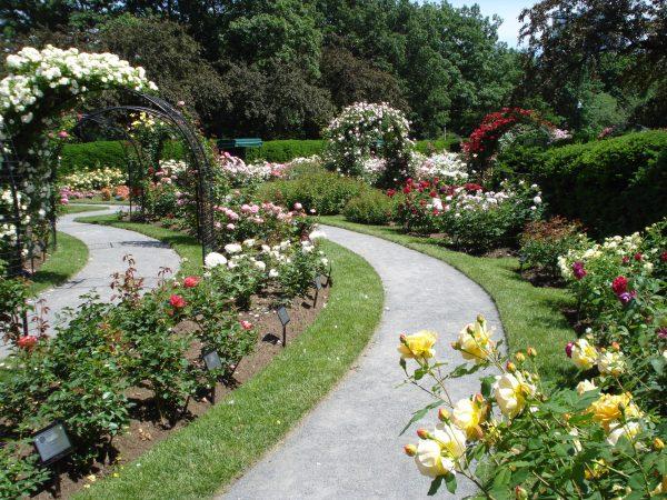 Top Backyard Rose Garden Ideas Decoraton Design Unique Tree Medium